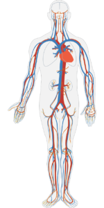 diagram of blood circulation around body