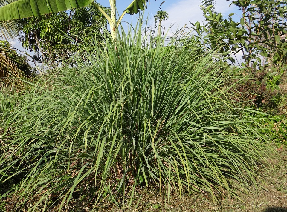 plant of whole lemongrass in wild